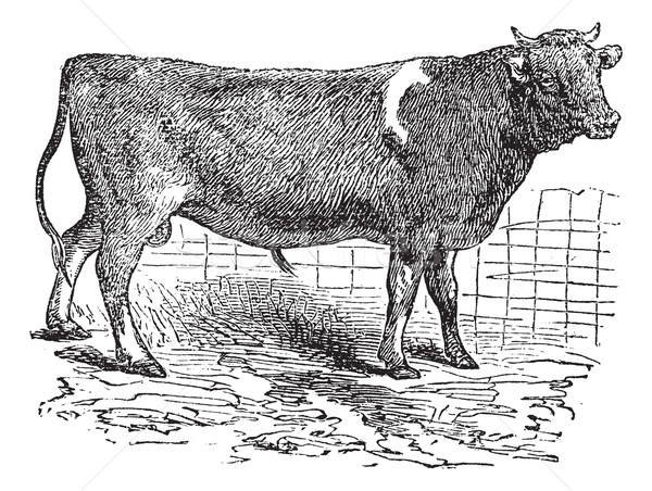 Alderney, cattle, vintage engraving. Stock photo © Morphart