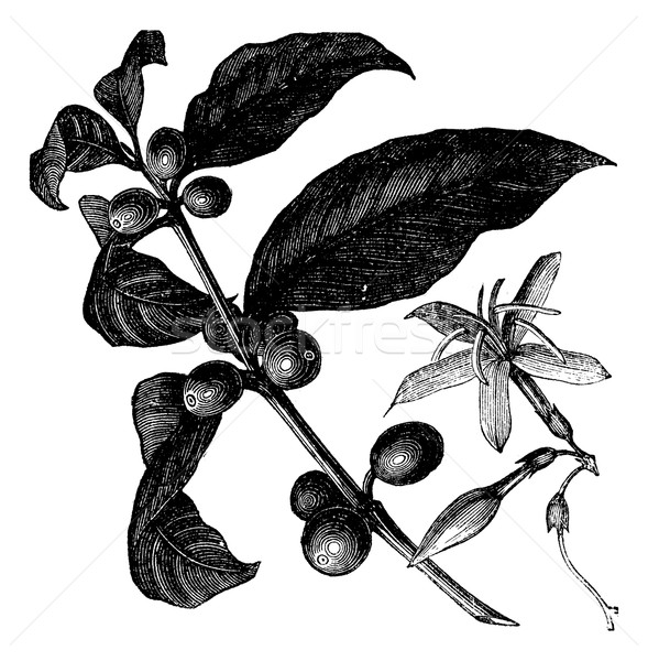 Coffea, or Coffee shrub and fruits, vintage engraving. Stock photo © Morphart