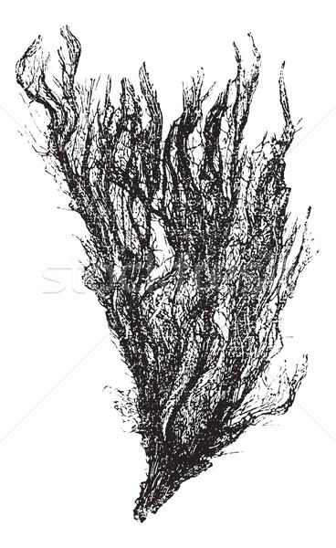 Gutweed and Grass Kelp or Ulva intestinalis, vintage engraving Stock photo © Morphart