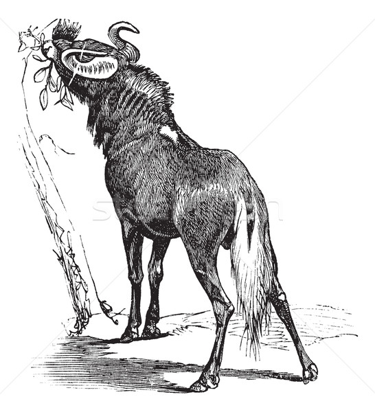 Blue Wildebeest or Connochaetes taurinus vintage engraving Stock photo © Morphart