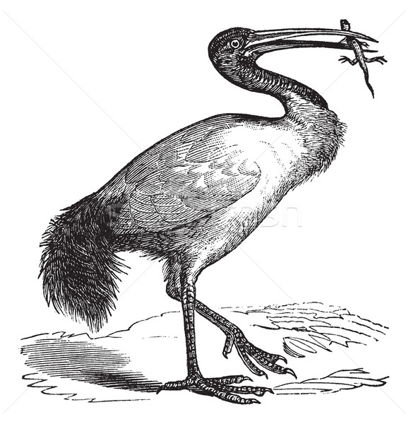 African Sacred Ibis or Threskiornis aethiopicus vintage engravin Stock photo © Morphart