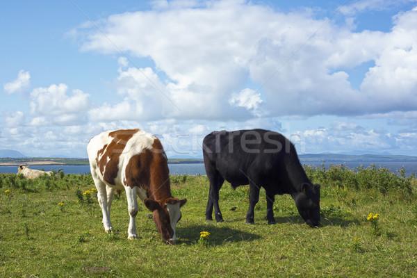 cattle feeding near cliffs on the wild atlantic way Stock photo © morrbyte