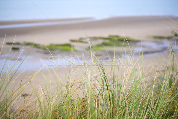 wild dune grass in beal beach Stock photo © morrbyte