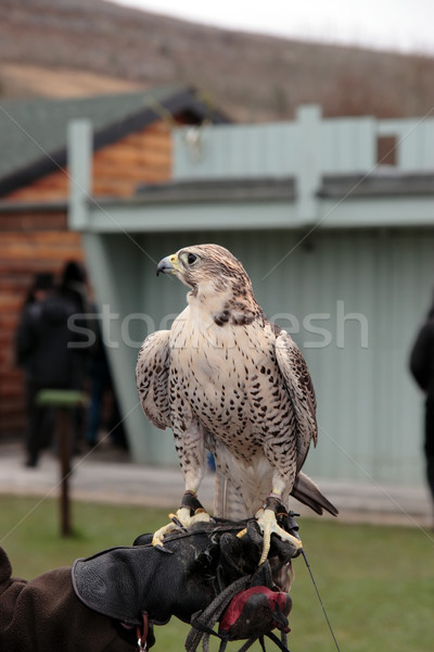 falcon perched on trainers gloved hand Stock photo © morrbyte