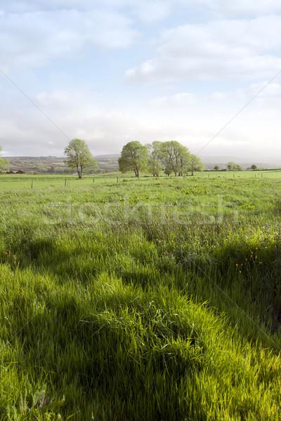 долго зеленая трава зеленый пышный полях Сток-фото © morrbyte