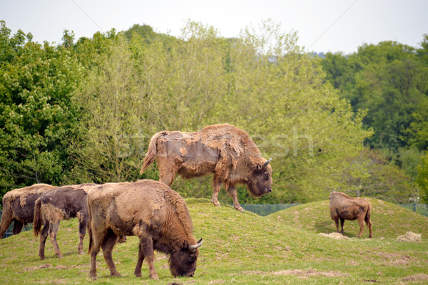 European bizon turma wildlife parc plută Imagine de stoc © morrbyte