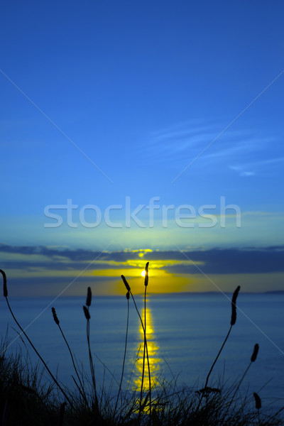 wild tall grass dusk sunset Stock photo © morrbyte