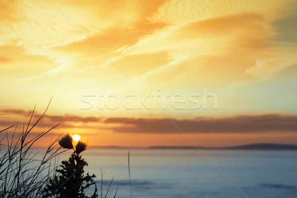 sunset over loop head with silhouetted wild thistles Stock photo © morrbyte