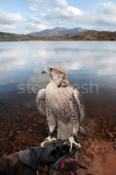 falcon perched on gloved hand with lake scene Stock photo © morrbyte