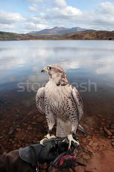 Falcão mão lago cena formadores belo Foto stock © morrbyte