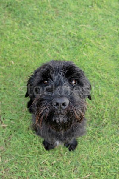 scottish terrier Stock photo © morrbyte