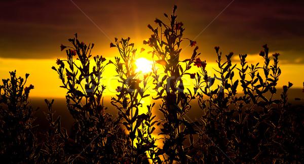 wild atlantic way sunset with flowers Stock photo © morrbyte
