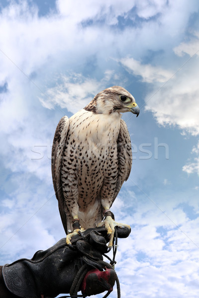 falcon perched on leather glove Stock photo © morrbyte