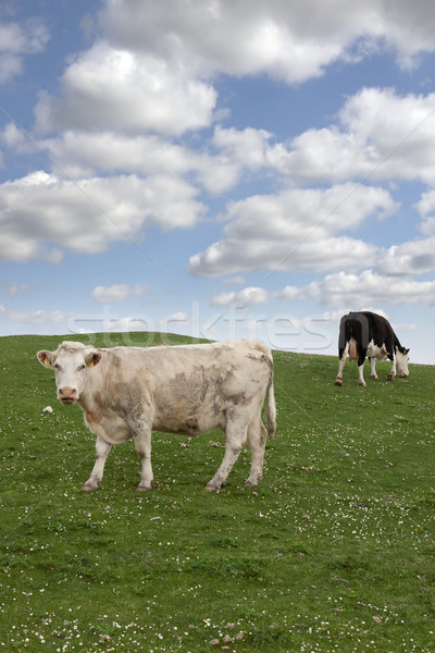 Сток-фото: скота · зеленая · трава · Ирландия · трава