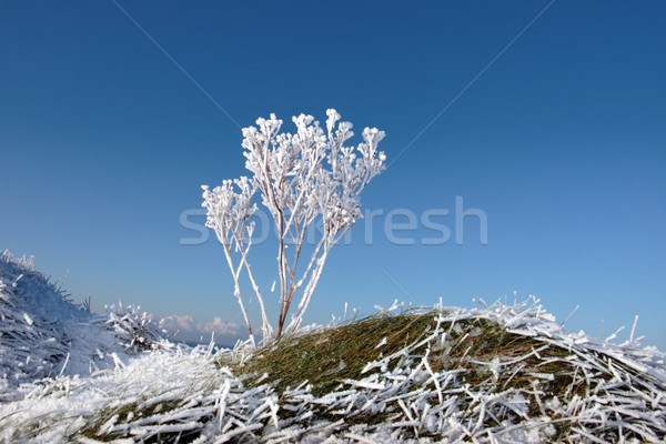 frosty snow covered ditch with weeds Stock photo © morrbyte