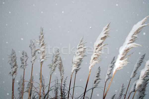 snowy covered reeds Stock photo © morrbyte
