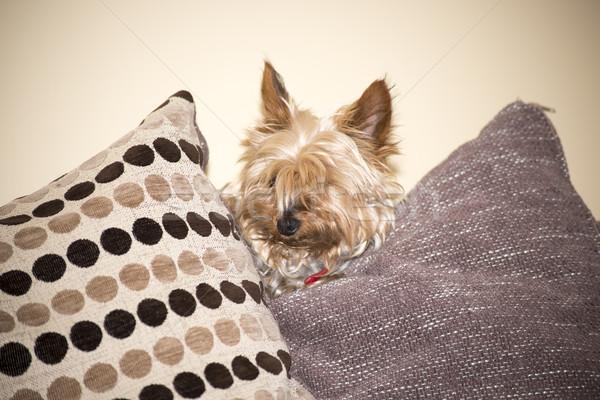 Mini cane cuscini giovani guardando fuori Foto d'archivio © morrbyte