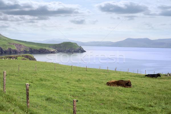 Península gado maneira céu grama Foto stock © morrbyte