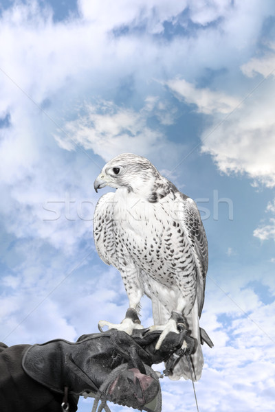 falcon perched on trainers hand Stock photo © morrbyte