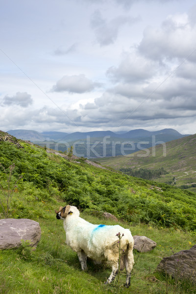 the kerry way sheep Stock photo © morrbyte