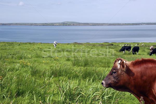 cattle heaven iii Stock photo © morrbyte