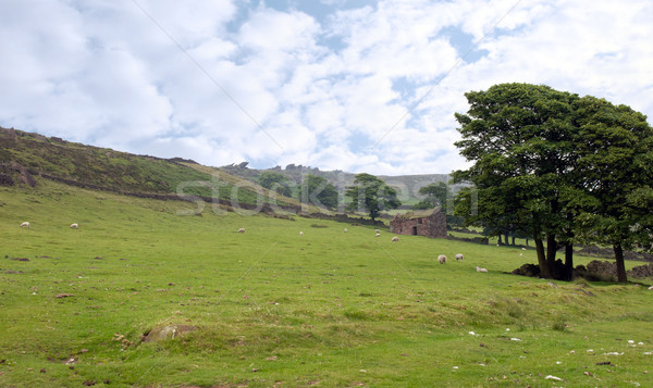 sheep grazing on a hilly pasture Stock photo © morrbyte
