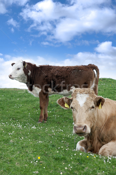 Irish cattle feeding on the green grass Stock photo © morrbyte