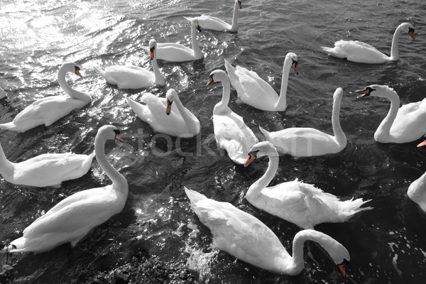 swans in black and white Stock photo © morrbyte