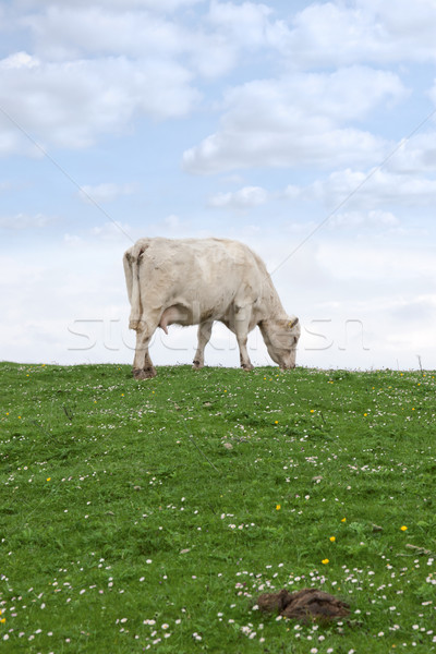lone cow feeding on the green grass Stock photo © morrbyte