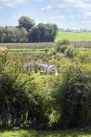 lone horse feeding Stock photo © morrbyte