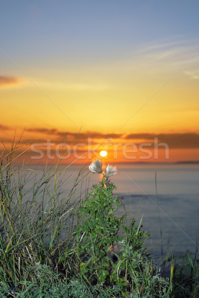 tall thistles on the wild atlantic way at sunset Stock photo © morrbyte