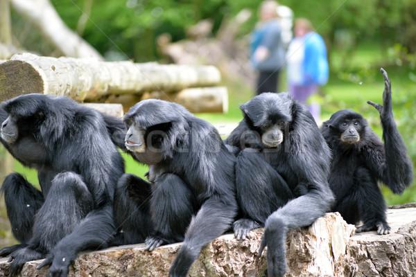 Siamang Gibbon family relaxing in fota wildlife park Stock photo © morrbyte