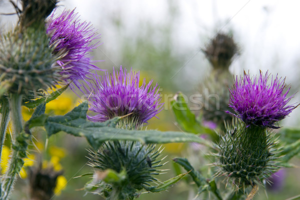 wild Irish thistle Stock photo © morrbyte