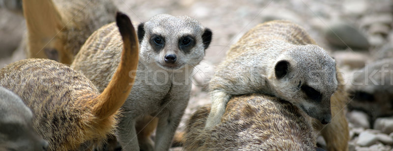 meerkat family in fota wildlife park Stock photo © morrbyte