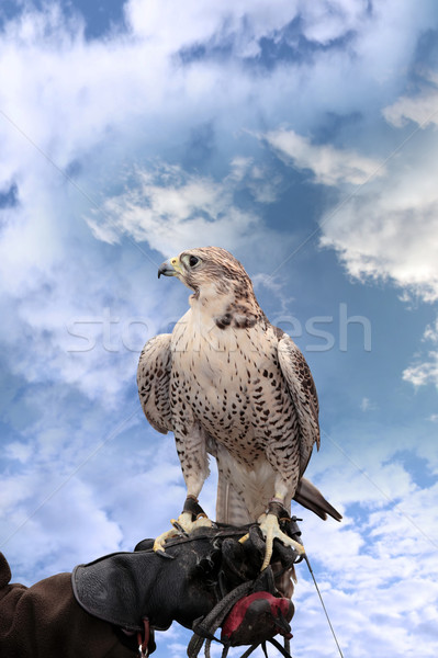 falcon perched on leather gloved hand Stock photo © morrbyte