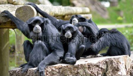 Siamang Gibbon family relaxing on tree stump Stock photo © morrbyte