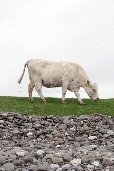 lone cow feeding on the coastal green grass Stock photo © morrbyte