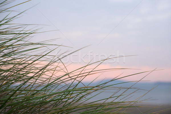 wild dune grass in beal kerry Stock photo © morrbyte