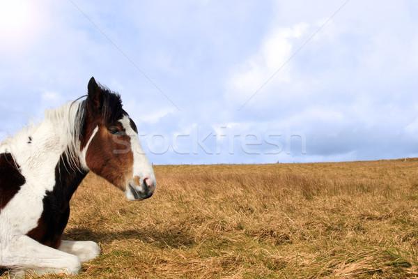 horse resting Stock photo © morrbyte