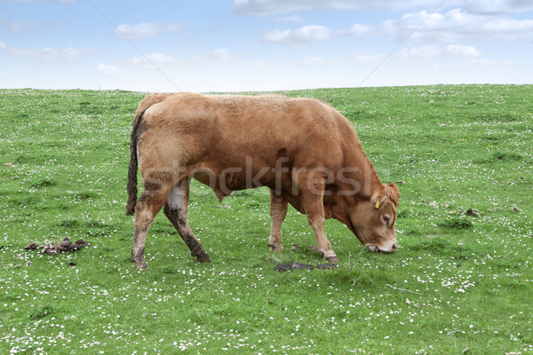 lone bull feeding on the green grass Stock photo © morrbyte