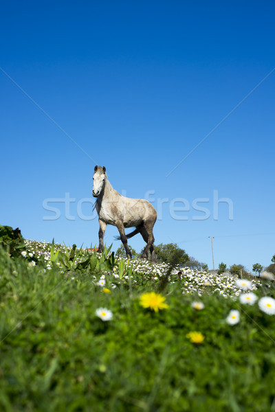 beautiful irish horse in a field Stock photo © morrbyte