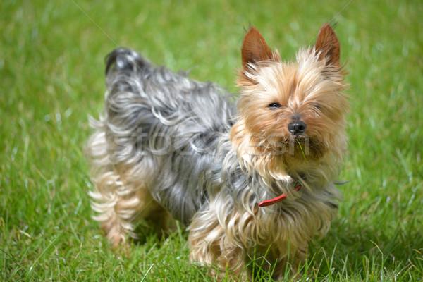 Klein hond gras jonge groen gras natuur Stockfoto © morrbyte