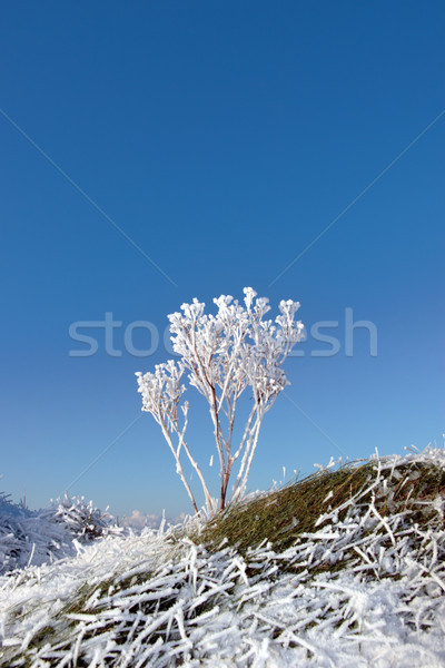 frosty snow covered grass ditch with weeds Stock photo © morrbyte