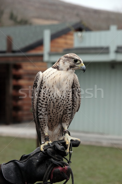 falcon perched on gloved hand Stock photo © morrbyte