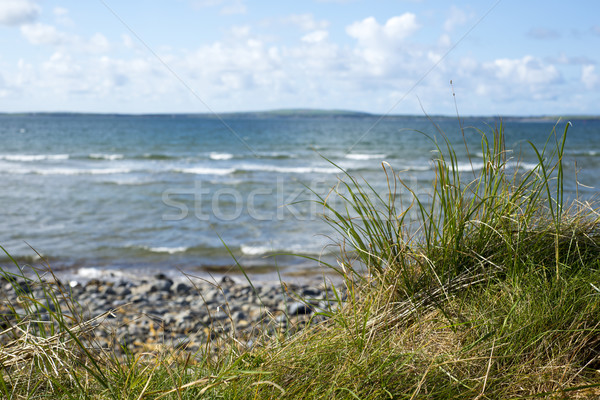 wild tall grass on the beale dunes Stock photo © morrbyte