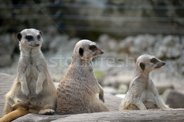 meerkats in fota wildlife park Stock photo © morrbyte