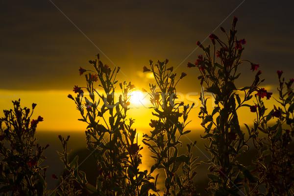 Maneira pôr do sol flores silvestres flores Foto stock © morrbyte