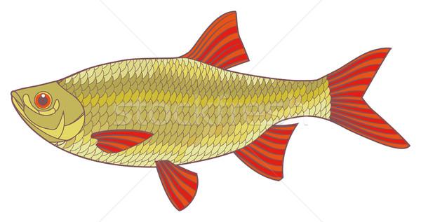 Peces rojo río aislado ilustración colorido Foto stock © motttive
