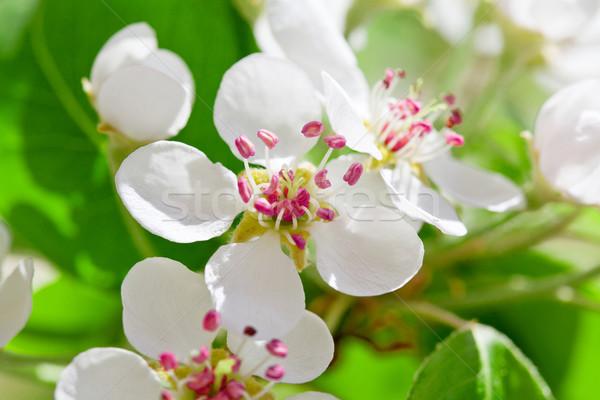 Pear Tree Flowers Stock photo © mpessaris