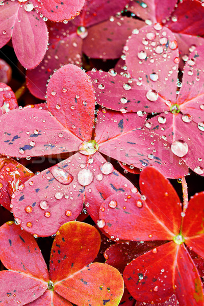 Red Oxalis Leaves Stock photo © mpessaris